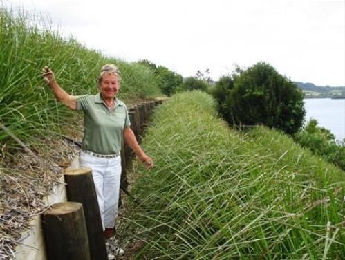 Trồng cỏ Vetiver bảo vệ đất