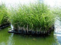 Ứng dụng cỏ Vetiver trong xử lý ô nhiễm môi trường đất và nước